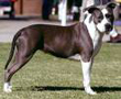 Photo d'un chien de race American Staffordshire