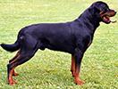 Photo d'un chien de race Rottweiler