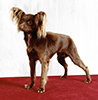 Photo d'un chien de race Russkiy Toy