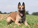 Photo d'un chien de race Berger Belges