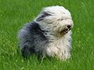 Photo d'un chien de race Bobtail