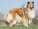 Photo d'un chien de race Colley