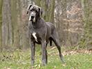 Photo d'un chien de race Dogue Allemand