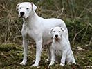 Photo d'un chien de race Dogue argentin