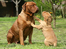 Photo d'un chien de race Dogue de Bordeaux