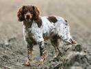 Photo d'un chien de race Epagneul Breton
