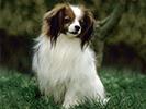 Photo d'un chien de race Epagneul Nain Continental