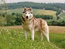 Photo d'un chien de race Husky Sibérien