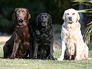 Photo d'un chien de race Labrador