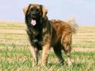 Photo d'un chien de race leonberger