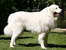 Photo d'un chien de race Montagne des Pyrénées