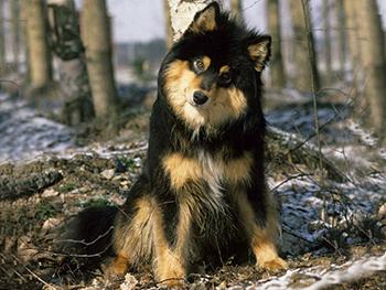 Célèbre Race de chien: lapinkoïra ZT78